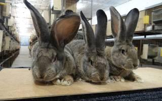 Бельгийский кролик великан: характеристики породы