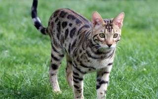 Пятнистые кошки: особенности окраса