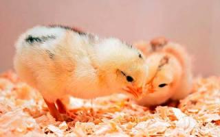 Как выбирать цыплят: 3 полезных совета