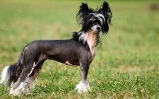 Характер китайской хохлатой собаки