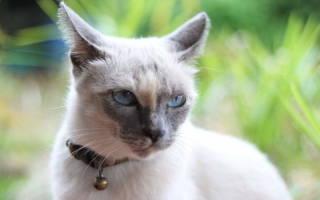 У кошки опухоль молочной железы: симптоматическое лечение