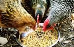 Понос у цыплят: лечение и профилактика