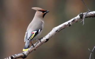 Свиристель – перелетная птица