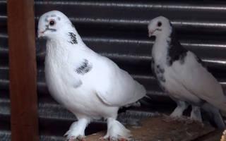 Как вылечить голубя от паразитов