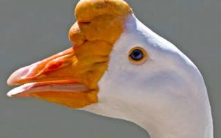 Клюв гуся: строение гусиного клюва