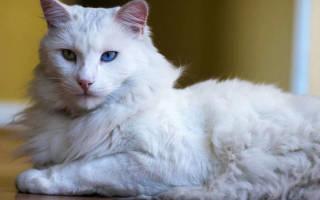 Каким кормом кормить кошку породы турецкая ангора