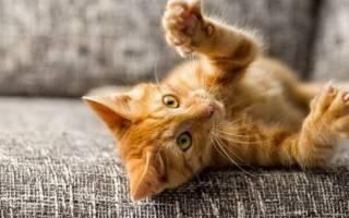 Сколько у кошки когтей на лапах