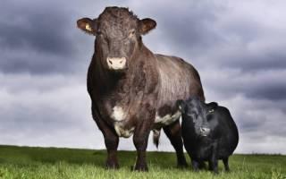 Максимальная и средняя масса коровы