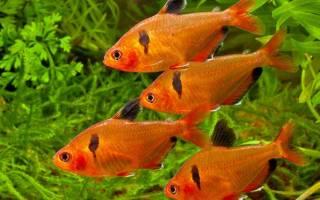 Рыба минор