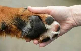 Почему собака лижет лапы