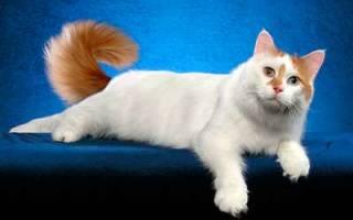 Анатолийский кот: особенности породы