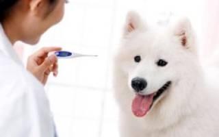 Как померить температуру собаке