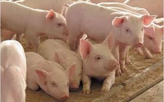 Беконные свиньи: эстонская беконная порода свиней