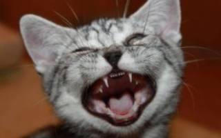Как растут зубы у котят