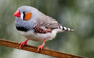 Виды комнатных птиц: амадины