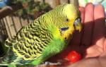 Как и от чего умирают волнистые попугаи