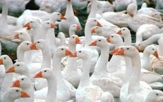 Домашнее разведение гусей: с чего начать