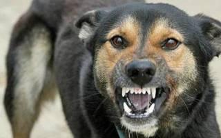 Первые признаки бешенства у собак