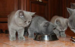 Выбираем витамины для британских кошек