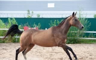 Буланая лошадь и ее характерные особенности