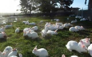 Ложная беременность у кроликов: симптомы