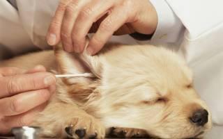 Как почистить щенку уши