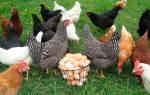 Как правильно купить кур: какую породу выбрать