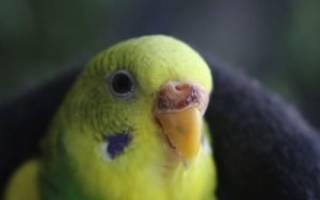 Как подрезать клюв попугаю