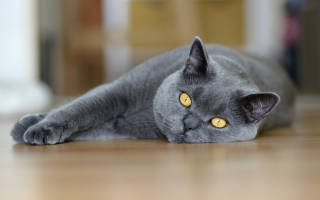 Правильное воспитание британских котят: основные принципы