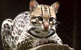 Онцилла – малая пятнистая кошка