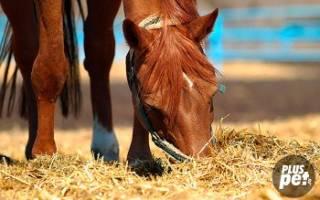 Рацион лошади: питание спортивных лошадей