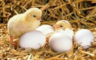 Вывод цыплят в инкубаторе: температура и сроки