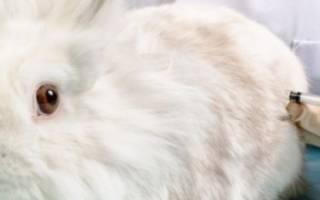 Прививки декоративным кроликам: схема вакцинации