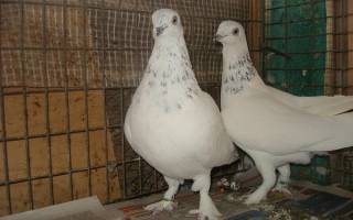 Разновидности голубей: голуби венгры