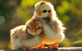 Понос с кровью у цыплят: причины и лечение