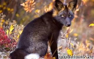 Какой образ жизни ведет чернобурая лиса в природе