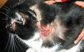 Как лечить дерматит у кошек