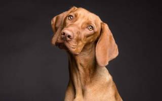 Как измерить пульс у собаки