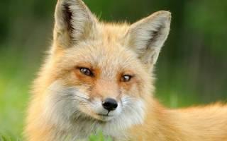 Образ жизни лисы