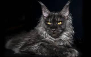 Что делать, если отодектоз у кошек: лечение современными методами