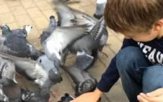 Чем кормить птенца голубя
