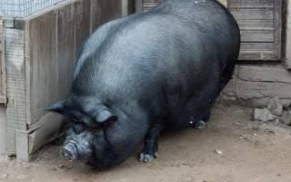 Всё о вьетнамских свиньях: как расить поросят в домашних условиях