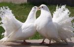Павлиний голубь: особенности разведения