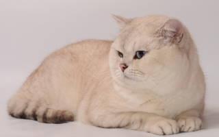 Шиншилловая британская кошка: особенности