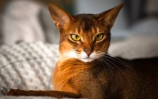 Породы кошек для квартиры