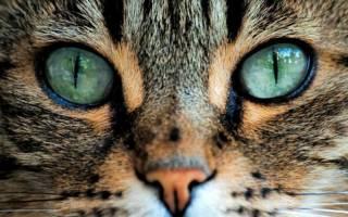 Как видят коты человека