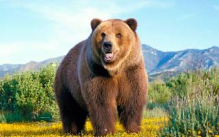 Размеры медведей