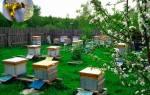 Содержание пчел в населенном пункте: как избежать претензий