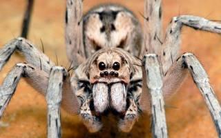 Самые известныя названия ядовитых пауков
