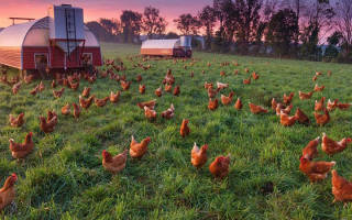Фермерское птицеводство: белые куры-несушки